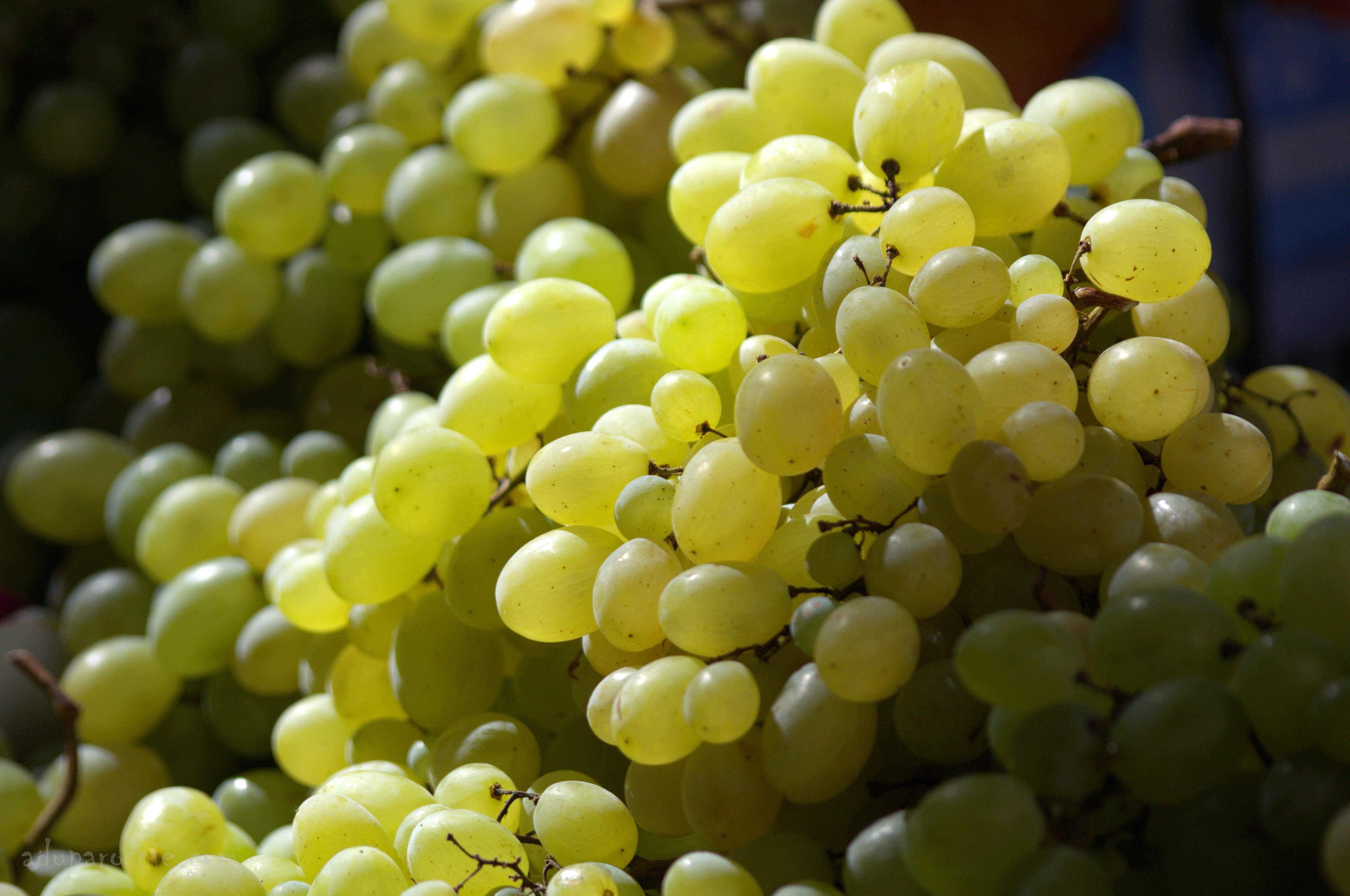 winobranie1